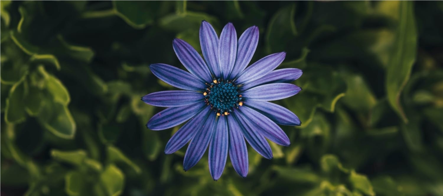 blue xinerqi flower